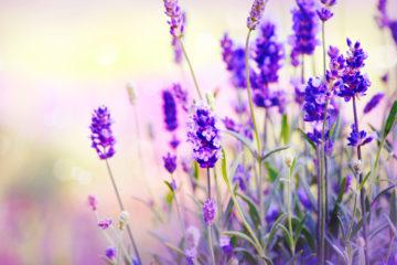 5 důvodů proč pěstovat levanduli