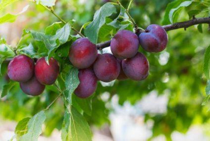 Jak pěstovat slivoně?