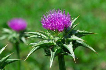 Léčivé byliny, které vám pomohou usnout a ochrání vaše játra